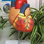 Anatomy Manikin Human Heart
